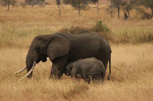 Elephant-baby-278523_1280