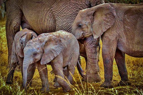 Elephants-277329_1280