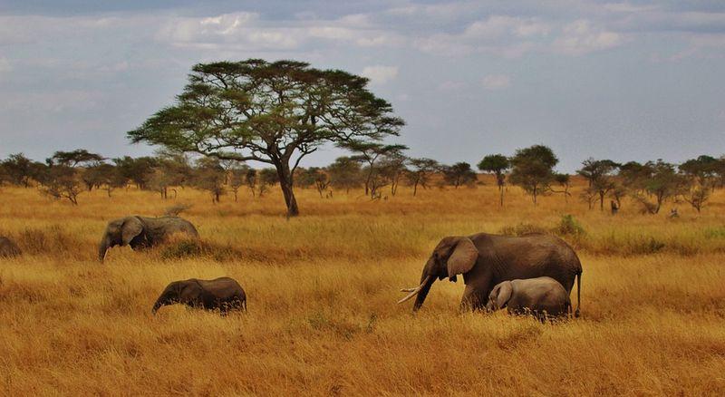 Elephants-277329_960_720