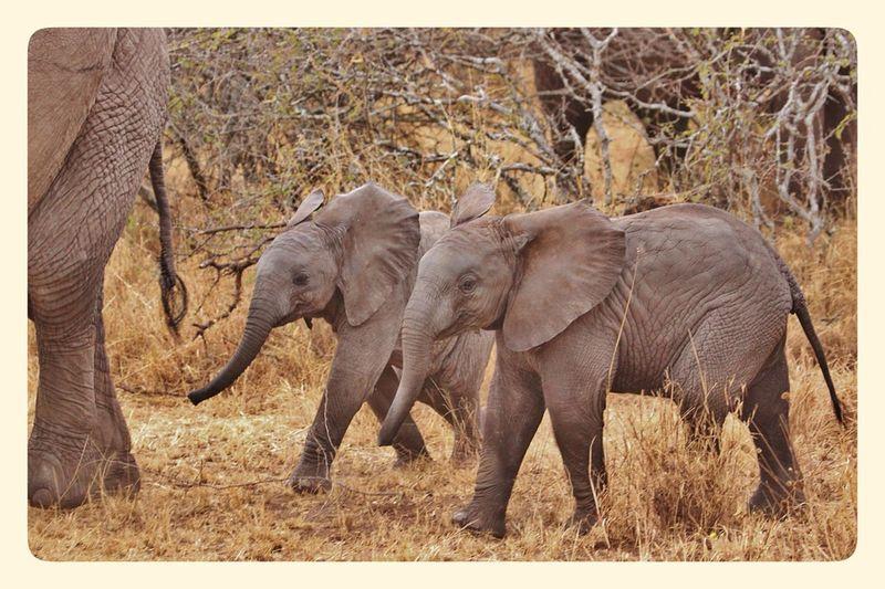 Elephant-babies-276825_960_720