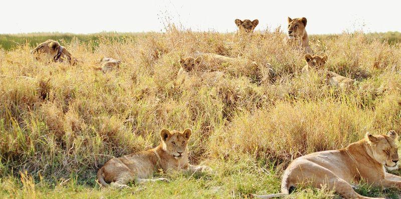 Lions-278365_960_720