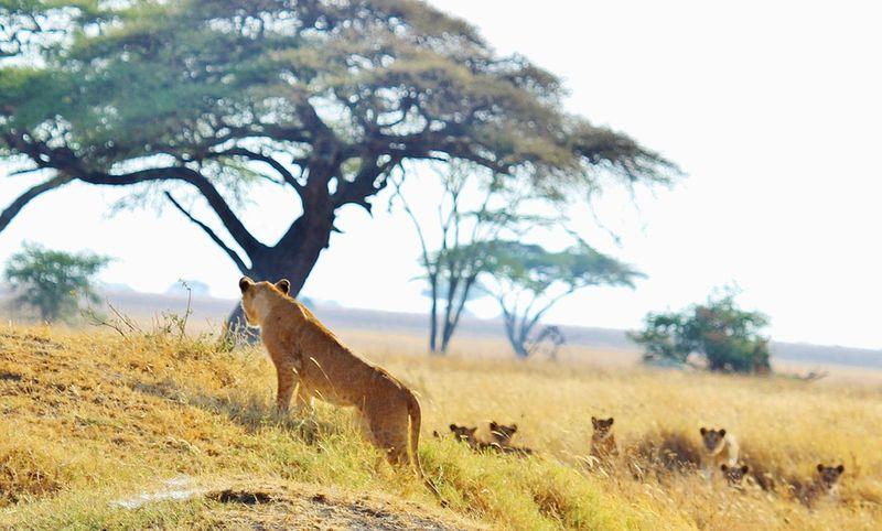 Lion-278368_960_720